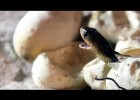 Egyptian Cobras Hatching 02 _ Time Lapse - Dangerous Animals | Recurso educativo 766176