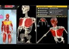 Animation that shows the muscles of the human body | Recurso educativo 769314